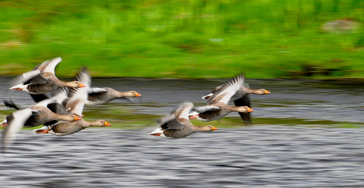 Shingle-Bay-Cottage-Self-Catering-Visiting-greylag-geese-in-Nostie-bay